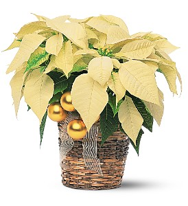 White Poinsettia in Fredonia NY, Fresh & Fancy Flowers & Gifts