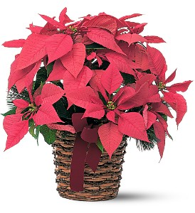 Poinsettia Basket in Edmonton AB, Petals For Less Ltd.
