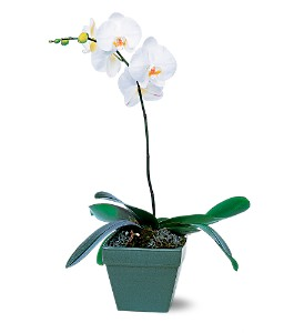 Phalaenopsis Orchid Plant in New Hartford NY, Village Floral