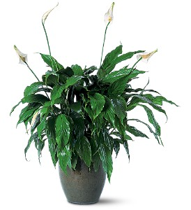 Spathiphyllum Plant in Laurel MD, Rainbow Florist & Delectables, Inc.