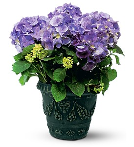 Blue Hydrangea in Wake Forest NC, Wake Forest Florist