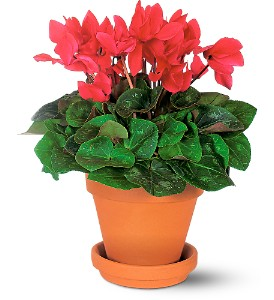 Sensational Cyclamen in Wake Forest NC, Wake Forest Florist