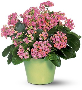 Pink Kalanchoe in Fairfield CT, Hansen's Flower Shop and Greenhouse