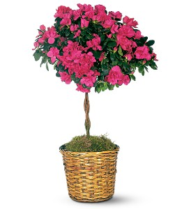 Azalea Topiary in Lemoore CA, Ramblin' Rose Florist