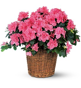 Pink Azalea in Elizabeth City NC, Jeffrey's Greenworld & Florist, Inc.