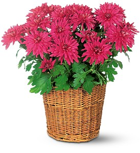 Purple Chrysanthemum in Isanti MN, Elaine's Flowers & Gifts