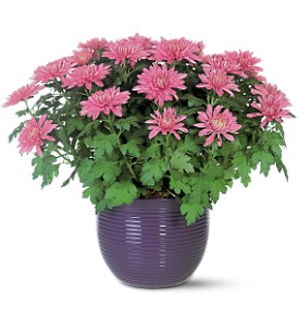 Lavender Chrysanthemum in Sioux Lookout ON, Cheers! Gifts, Baskets, Balloons & Flowers