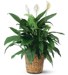 Large Spathiphyllum Plant in Groves TX, Sylvia's Florist And Gifts