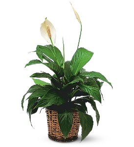 Small Spathiphyllum Plant in Longview TX, The Flower Peddler, Inc.
