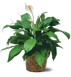 Medium Spathiphyllum Plant in Holladay UT, Brown Floral