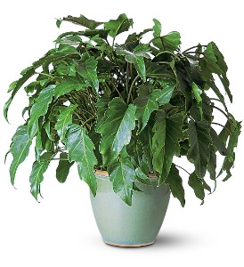 Xanadu Philodendron in Mystic CT, The Mystic Florist Shop