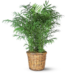 Parlor Palm in Syracuse NY, Westcott Florist, Inc.