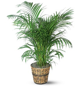 Areca Palm in Oklahoma City OK, Array of Flowers & Gifts