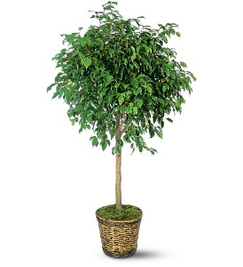 Ficus Tree in Laurel MD, Rainbow Florist & Delectables, Inc.