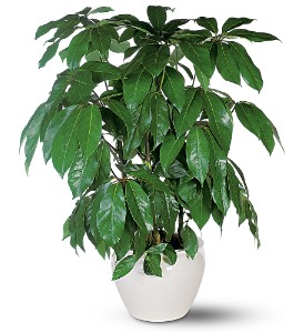Schefflera in New York NY, Fellan Florists Floral Galleria