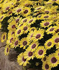 6in Pot: Argyranthemum - Grandessa Yellow in Waukegan IL, Larsen Florist