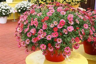 6in Pot: Argyranthemum - Grandessa Red in Waukegan IL, Larsen Florist