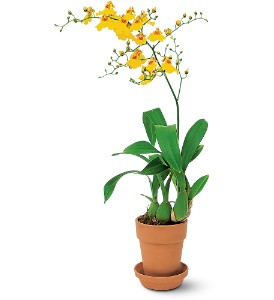 Yellow Oncidium Orchid in Wake Forest NC, Wake Forest Florist