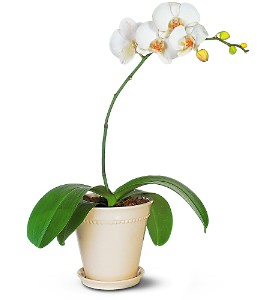 White Phalaenopsis Orchid in Lemoore CA, Ramblin' Rose Florist