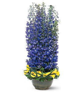 Distinguished Delphinium in Friendswood TX, Lary's Florist & Designs LLC
