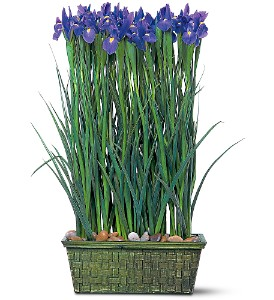 Iris Garden in Burlington NJ, Stein Your Florist