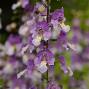 4in Pot: Angelonia, Archangel - Blue Bi-Color in Waukegan IL, Larsen Florist