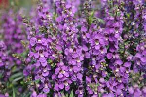 4in Pot: Angelonia - Archangel Dark Purple in Waukegan IL, Larsen Florist