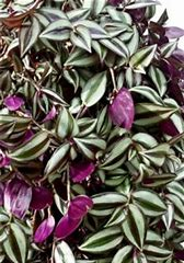 10in Hanging Basket:Tradescantia, Purple in Waukegan IL, Larsen Florist