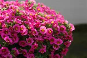 10in Hanging Basket:Calibrachoa Cabaret Hot Pink in Waukegan IL, Larsen Florist