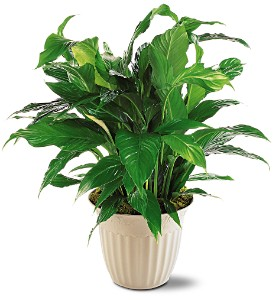 Spathiphyllum Plant in Oklahoma City OK, Array of Flowers & Gifts