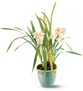 White Orchid Plant in Guelph ON, Patti's Flower Boutique