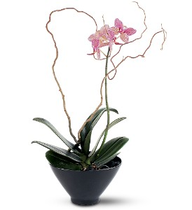 Miniature Lavender Orchid in Lockport NY, Gould's Flowers, Inc.