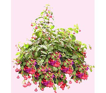 Hanging Fuschia Plant in Big Rapids MI, Patterson's Flowers, Inc.