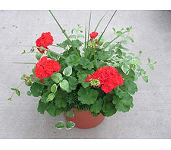 Geranium Patio Pot in Big Rapids MI, Patterson's Flowers, Inc.