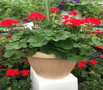 Geranium Tub in Fond Du Lac WI, Haentze Floral Co