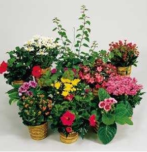 Designer's Choice Blooming Plant in Burlington NJ, Stein Your Florist