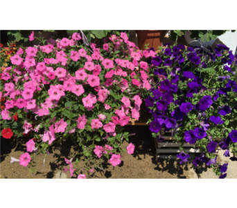 Petunia Hanging 13 inch (Color Will Vary) in Wyoming MI, Wyoming Stuyvesant Floral