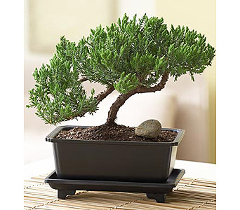 Juniper Bonsai in Bradenton FL, Ms. Scarlett's Flowers & Gifts