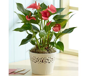 Anthurium Plant in Bradenton FL, Ms. Scarlett's Flowers & Gifts