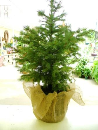 Colorado Spruce in Fond Du Lac WI, Haentze Floral Co