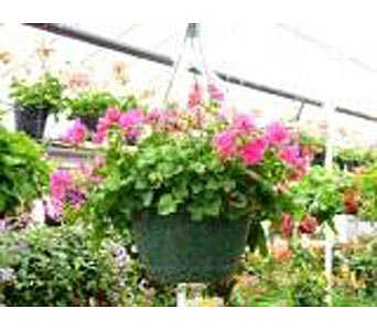 Geranium Basket  in Fond Du Lac WI, Haentze Floral Co