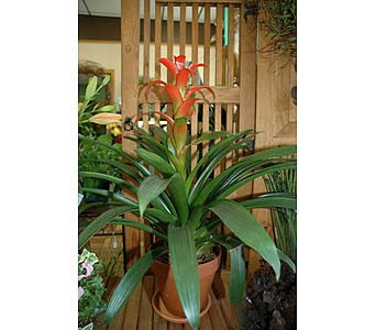 Bromeliad in Terra Pot & Saucer in Northfield MN, Forget-Me-Not Florist