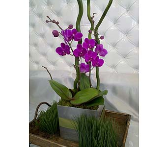 Mini Purple Orchid 4 in Santa Monica CA, Santa Monica Florist