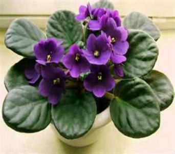 African Violet 4in in Nashville TN, Emma's Flowers & Gifts, Inc.