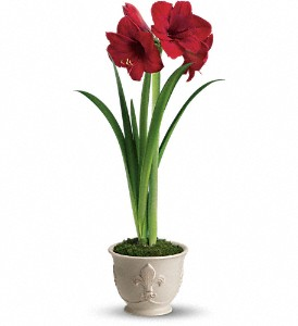Teleflora's Merry Amaryllis in Grand Rapids MI, Rose Bowl Floral & Gifts