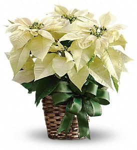 White Poinsettia in Chatham ON, Pizazz!  Florals & Balloons