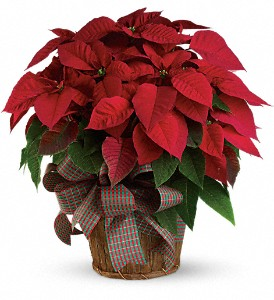 Large Red Poinsettia in White Stone VA, Country Cottage