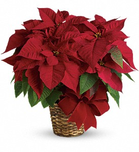 Red Poinsettia in White Stone VA, Country Cottage
