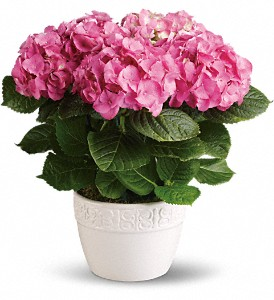 Happy Hydrangea - Pink in White Stone VA, Country Cottage