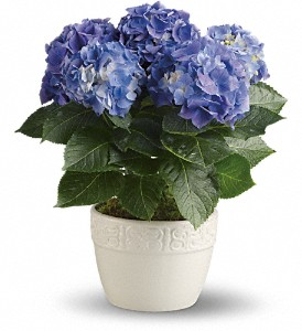 Happy Hydrangea - Blue in Billerica MA, Candlelight & Roses Flowers & Gift Shop